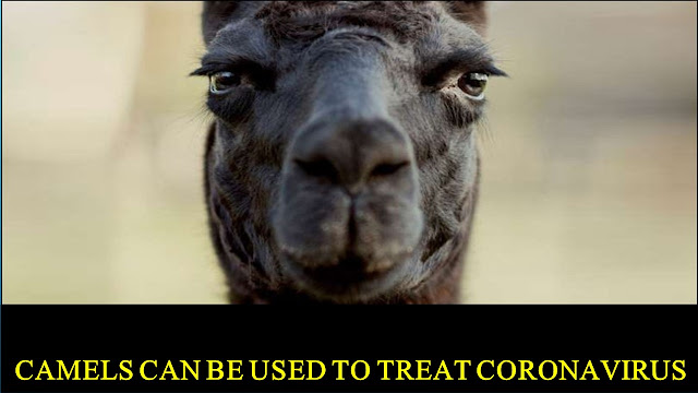 Camels Can Be Used to Treat Coronavirus