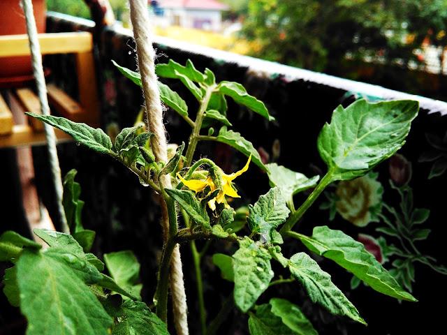 bunga tomato