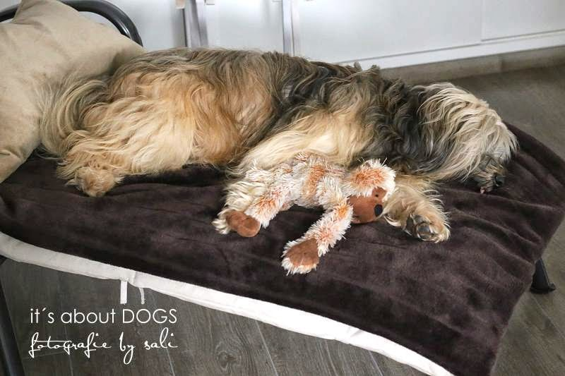 Hundeblog - Tibet Terrier Chiru mit seinem Lieblingsspielzeug Kongi beim Schlafen