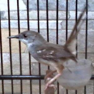 burung ciblek yang berkualitas manis sangat menguntungkan bagi anda sendiri CIRI-CIRI BAKALAN CIBLEK BERKUALITAS BAGUS