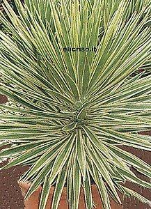Maseta con planta: yuca variegada sin espinas