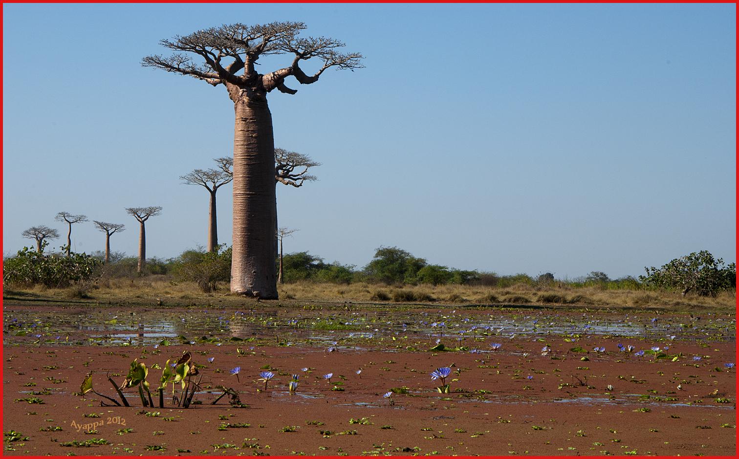 Alberi e dintorni storie di alberi il baobab l 39 albero for Nomi di alberi sempreverdi