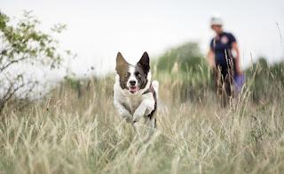 cães de rastreamento