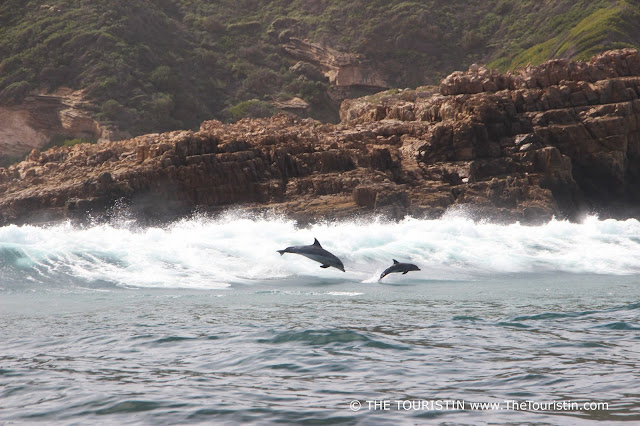 Bottlenose Dolphin mother and calf in the Indian Ocean in Knysna in South Arrica