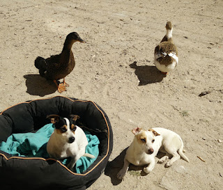 Puppies and ducks hanging around as we eat