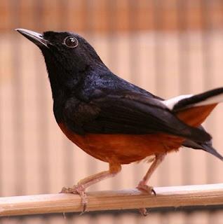 10 Cara Merawat Burung Murai Batu Mabung Agar Cepat Tuntas Yang Sudah Terbukti