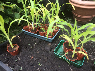 sweetcorn, how to plant, organic gardening, gardening, grow your own, life on pig row