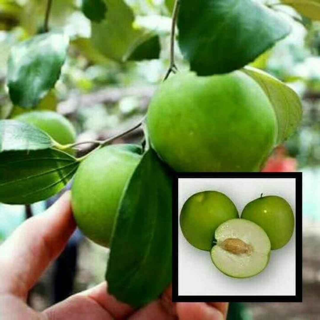 Murah Meriah! Bibit Tanaman Buah Apel Putsa Apel India 40cm kondisi berbunga Kota Surabaya #bibit buah genjah termurah