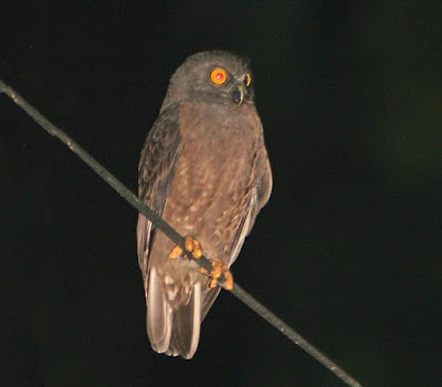 Ninox obscura