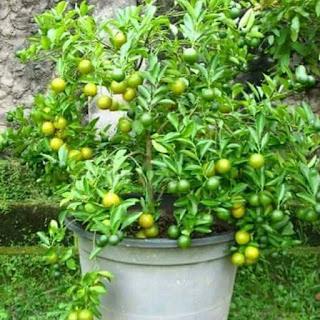 https://agenpupuknasa1.blogspot.com/2017/07/pupuk-nasa-untuk-merangsang-buah.html