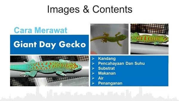 Giant Day Gecko Atau Tokek Giant Day