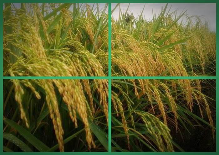 gambar cara menanam padi yang baik 2016