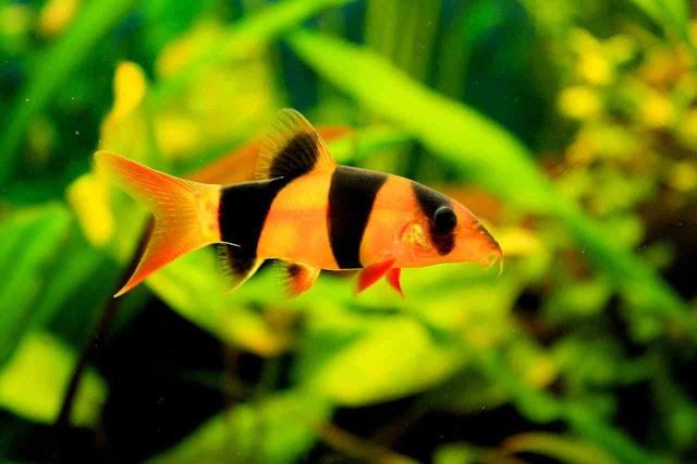 Clown Loach in Planted Aquarium