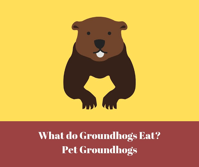 What do Groundhogs Eat - Pet Groundhogs