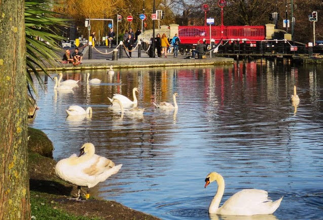 One day in Dublin City: The swans of Portobello on the Grand Canal