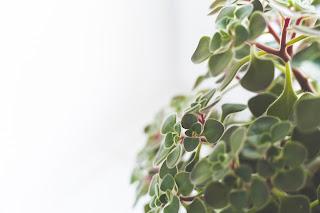 https://pixabay.com/pl/ro%C5%9Bliny-doniczkowe-ro%C5%9Blin-zielony-791120/