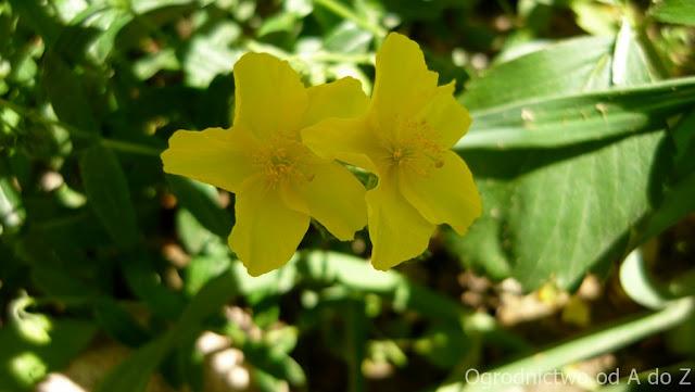 Helianthemum x hybridum