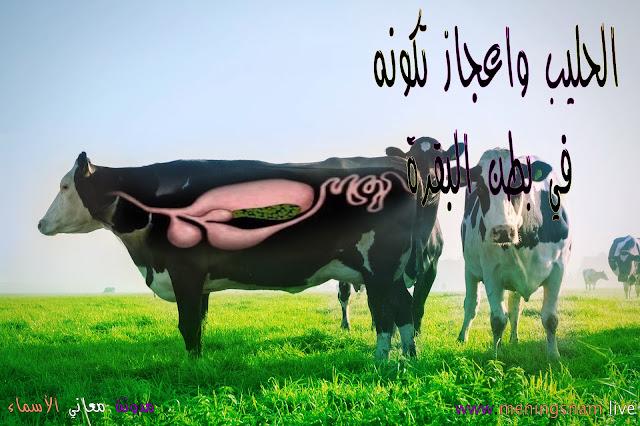 الحليب, واعجاز, تكونه في بطن البقرة,