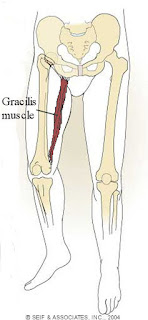 gracilis muscle, anatomy, muscle picture