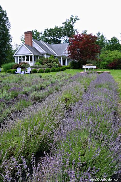 Campos de Lavanda en Laromay Lavender Farm en Hollis, New Hampshire