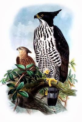 Águila azor de Indonesia Nisaetus alboniger