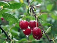 Panduan Lengkap Menanam Cherry dari Biji Agar Cepat Berbuah Lebat