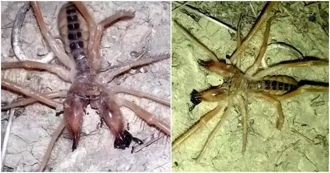 Σπάνια αράχνη-σκορπιός εμφανίστηκε στα Τρίκαλα και προκαλεί τρόμο στους κατοίκους