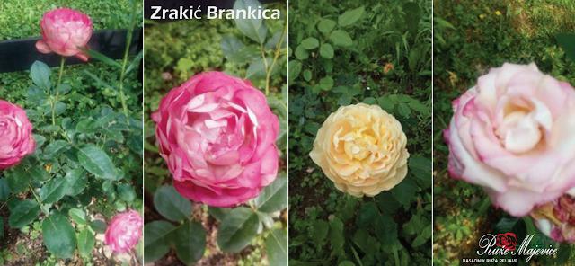 Ruže u punom cvijetu