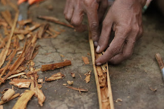 cinnamon harvest