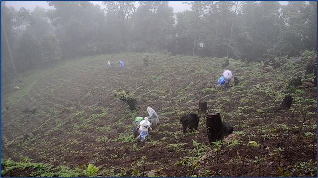 Planting Cinchona in Mungpoo