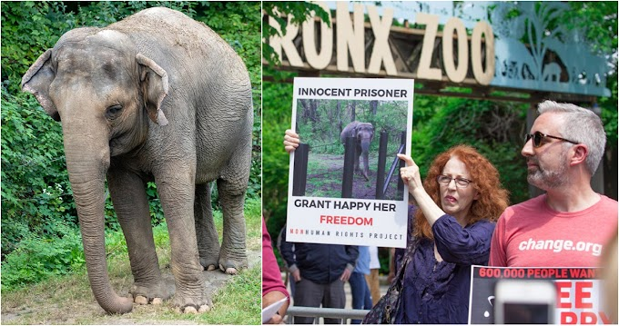 Jueces de apelación deliberan si una elefanta del zoológico de El Bronx debe ser liberada como persona con un Habeas Corpus