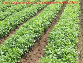Cultivation of coriander