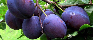 Kissel from black plums