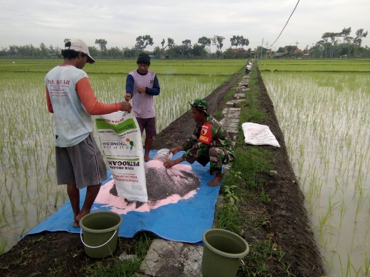Tingkatkan Kualitas Tanaman Padi Babinsa Madiun Dampingi Petani Dalam Pemupukan