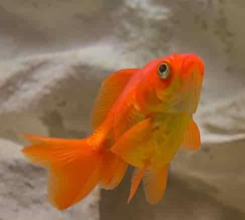Fancy goldfish care