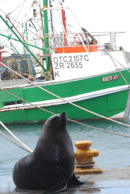 Sealion in Kalk Bay, South Africa