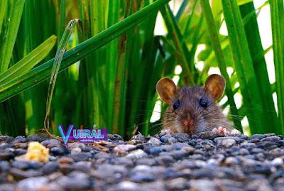 Contoh Simbiosis Parasitisme Tikus Dengan Petani