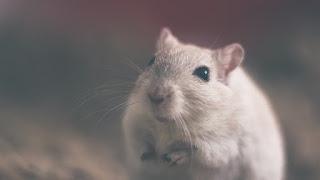 Mencit putih digunakan dalam studi laboratorium sebagai pengganti subjek (manusia)