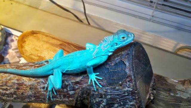 Iguana Biru (Blue Iguana)