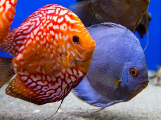 Ini Dia Penyebab Ikan Discus Gampang Mati