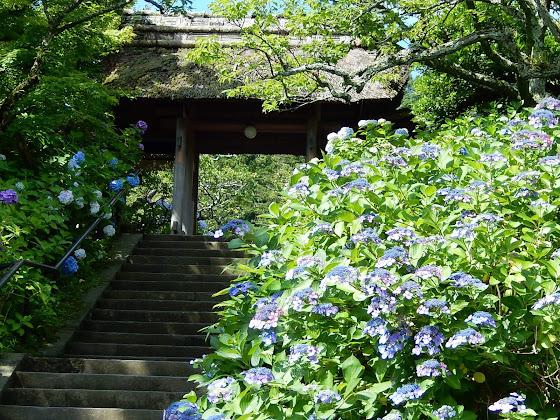 東慶寺のアジサイ