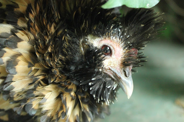 scaly face mite treatment organic poultry