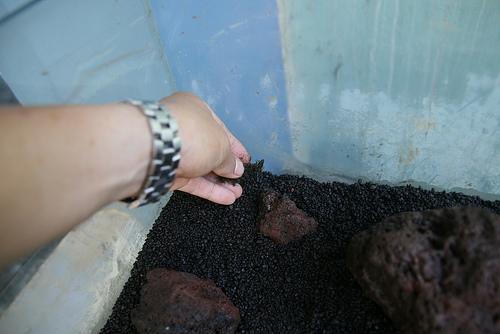 Cách cấy mini fiss thủy sinh lên đá và nền - trải fiss lên nền
