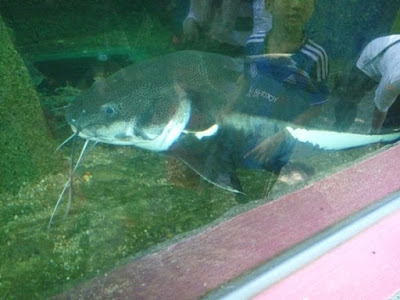 ikan keli raksasa