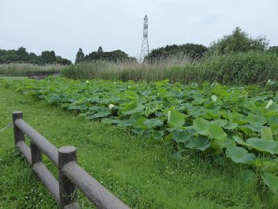 深北緑地のレンコン畑 蓮の花