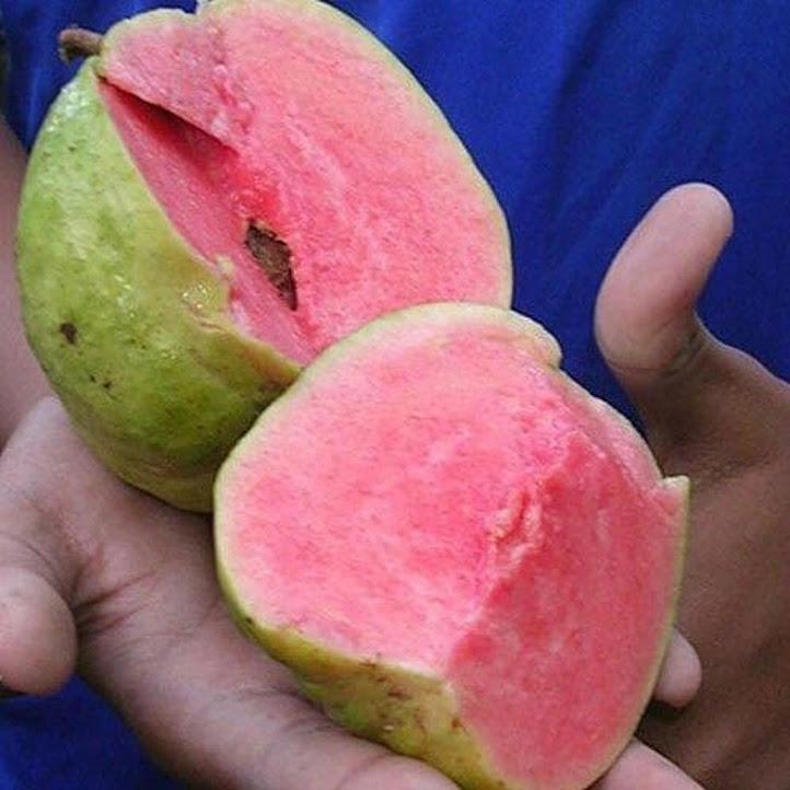 Bibit Tanaman Buah Jambu Merah Tanpa Biji Sumatra Barat