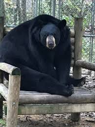 An image of a black bear