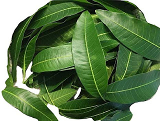 Mango leaves to Cure Diabetes