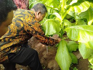 Panen Perdana, Optimis Target Kebun Ajong Terlampaui