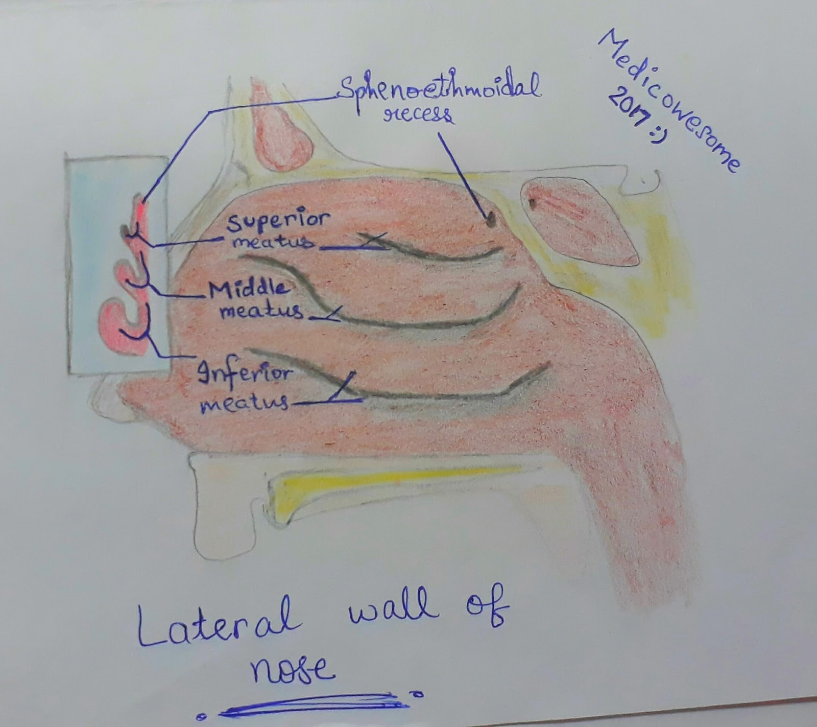 Medicowesome: The Basics : Lateral wall of Nasal cavity